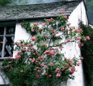 Английские домики и цветущие розы фото