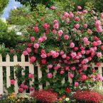 Уютная дача: цветы у белого забора